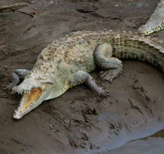 crocodile in river in Costa Rica