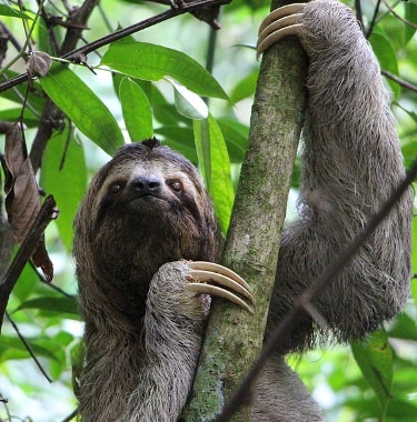 sloth in tree in costa rican park