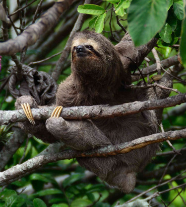 sloth in a forest in Costa Rica