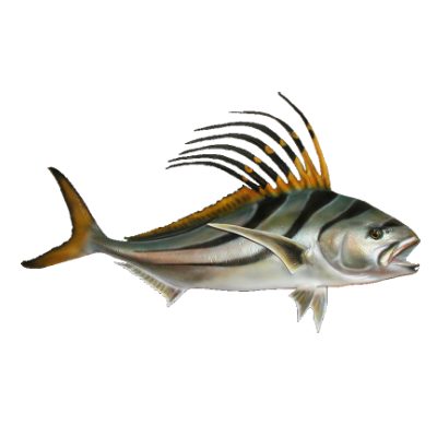 Costa rica fish species chart for Rooster fish pictures