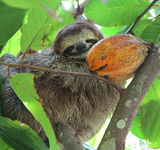 sloth on a tree in Costa Rica