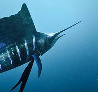 Costa Rica Billfish M
