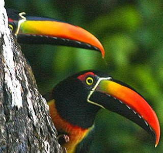 Toucans in Manuel Antonio National Park in Costa Rica