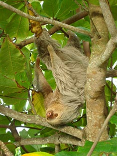 Manuel Antonio Wildlife - Sloth