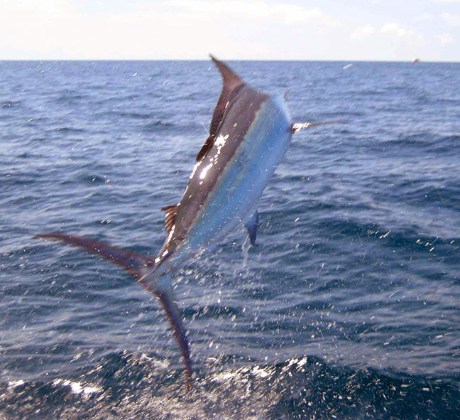Peak sailfish season finally arrived for Costa rica fishing season