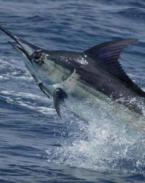 sailfish in Costa Rican ocean