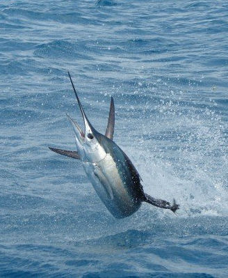 sailfish on the line on a fishing trip
