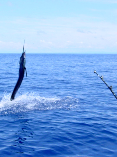 sailfish on the line in Costa Rica