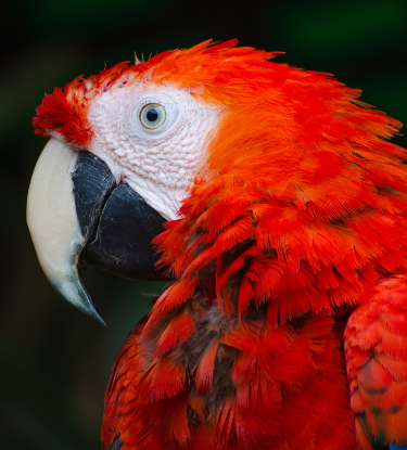 scartell macaw in costa rica