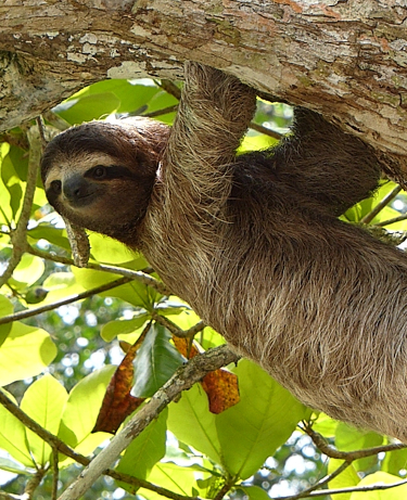 sloth in a tree in costa rica