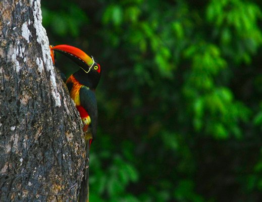 toucan in a tree in costa rica